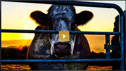 150930-cow