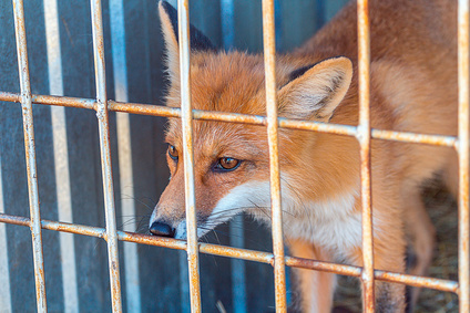 fox looking through the bars of a cage