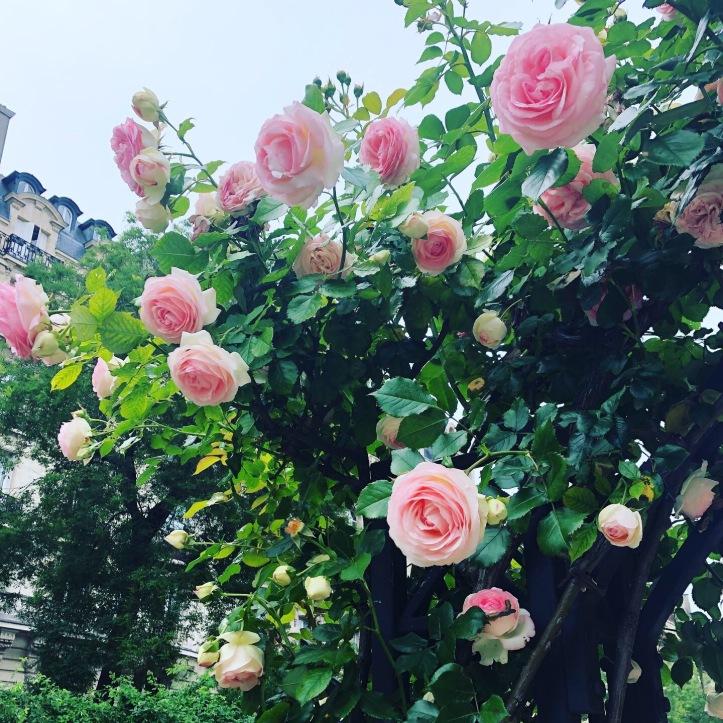 Pariisin ruusuja